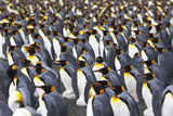 King Penguins, Aptenodytes Patagonicus, Gathered in a Rookery Photographic Print by Ira Meyer