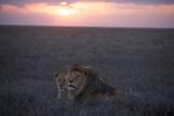 An Adult Male Lion with a Female from the Kibumu Pride Fotodruck von Michael Nichols
