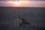 An Adult Male Lion with a Female from the Kibumu Pride Photographic Print by Michael Nichols