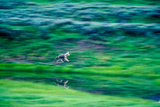 Panned View of a Coyote Running Along the Edge of Trout Creek to See What Another Coyote Was Doing Photographic Print by Tom Murphy