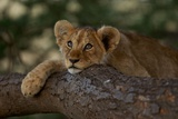 A Lion Cub Rests on a Tree Branch in Serengeti National Park Fotografisk tryk af Michael Nichols