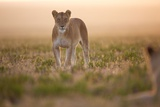 A Lioness in the Short Grass Plains Photographic Print by Michael Nichols
