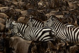 Mixed Herds of Burchell's Zebra and Wildebeest on the Move in the Plains of the Serengeti Photographic Print by Michael Nichols