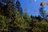 Monarch Butterflies in Sierra Chincua, Michoacan, Mexico Photographic Print by Medford Taylor