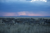 A Herd of Burchell's Zebra Move across the Plains of the Serengeti Photographic Print by Michael Nichols