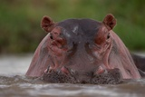 A Hippopotamus Partially Submerged in the Mara River Photographic Print by Michael Nichols