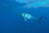 Portrait of a Female Great White Shark, Carcharodon Carcharias, Swimming in Dappled Sunlight Fotografie-Druck von Jeff Wildermuth