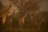 A Small Herd of Giraffe in a Thicket Photographic Print by Michael Nichols