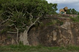 A Male Lion Uses a Rock as an Outlook on the Serengeti Plains Photographic Print by Michael Nichols