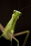 Close Up Portrait of a Praying Mantis Photographic Print by Robin Moore