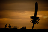Mountain Nyalas, Tragelaphus Buxtoni, and a Giant Lobelia at Sunset on the Sanetti Plateau Photographic Print by Robin Moore