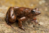 An Altiphrynoides Frog in the Bale Mountains Photographic Print by Robin Moore