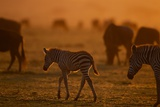 A Young Burchell's Zebra Moves across the Plains of the Serengeti Photographic Print by Michael Nichols