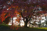 Sunlight Streaming Through a Tree with Bright Red Leaves Photographic Print by Diane Cook Len Jenshel