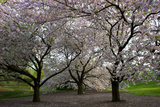 Cherry Trees in Bloom Photographic Print by Diane Cook Len Jenshel