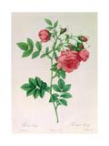 Rosa Rapa Giclee Print by Pierre Petit