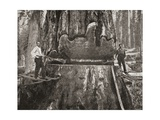 Cutting Down a Giant California Redwood Tree in the Late 19th Century Giclee Print