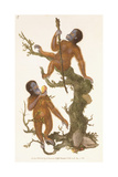 Two Primates on a Tree, 1823 Giclee Print by Edward Donovan