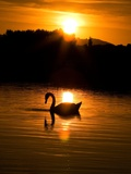 Sunset Swan England, 2011 Photographic Print by Shaun Taylor McManus