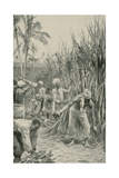 Trinidad Coolies at Work in a Cane-Field Giclee Print by Walter Stanley Paget