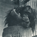 An Orangutan at ZSL London Zoo, April 1923 Photographic Print by Frederick William Bond