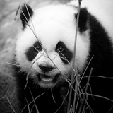 Baby Panda China, 2011 Photographic Print by Shaun Taylor McManus