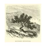 Baccharis Obtusifolia Giclee Print by Édouard Riou
