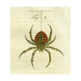 Illustration of a Spider, 1790 Giclee Print by Jacob Xavier Schmuzer