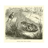 Edible Frog, Rana Esculenta Giclee Print