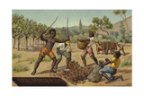 Loading Cocoa Pods into Sacks, Africa Giclee Print