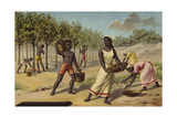 Harvesting Cocoa, Africa Giclee Print
