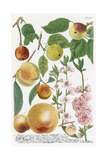 Various Apples Giclee Print by Georg Dionysius Ehret