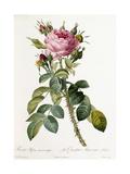 Rosa Bifera Macrocarpa, 1817-1824 Giclee Print by Pierre-Joseph Redouté