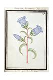 Campanula Trachelium, C.1700 Giclee Print