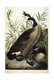 Canada Goose, C.1827-1838 Giclee Print by John James Audubon