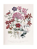 Catchfly Giclee Print by Jane W. Loudon