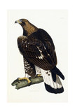 A Young Golden Eagle, 1841 Giclee Print by Prideaux John Selby