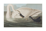 Illustration from 'Birds of America', 1827-38 Reproduction procédé giclée par John James Audubon
