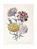 A Variety of Carnations Giclee Print by Jane W. Loudon