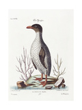 The Penguin, 1770 Giclee Print by George Edwards