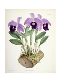 Laelia Dayana, C.1882-1897 Giclee Print by Walter Hood Fitch