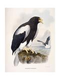 Haliaetus Pelagicus Giclee Print by Daniel Girard Elliot