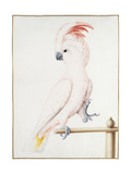 Major Mitchell's Cockatoo Giclee Print by Nicolas Robert