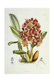 Odontoglossum Coronarium, 1864-1874 Giclee Print by Walter Hood Fitch