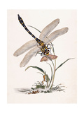 Bolton's Dragon-Fly Giclee Print by Edward Donovan