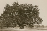 The Major Oak, Sherwood Forest Photographic Print by  English Photographer