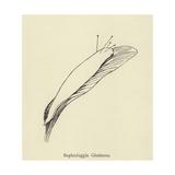 Sophtsluggia Glutinosa Giclee Print by Edward Lear
