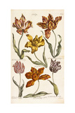 Tulips, 1842 Giclee Print by John Hill