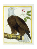 White-Headed Eagle, C.1770-1786 Giclee Print by Francois Nicolas Martinet