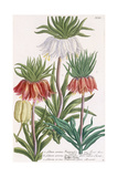 Lilium Corona Imperialis Giclee Print by Georg Dionysius Ehret